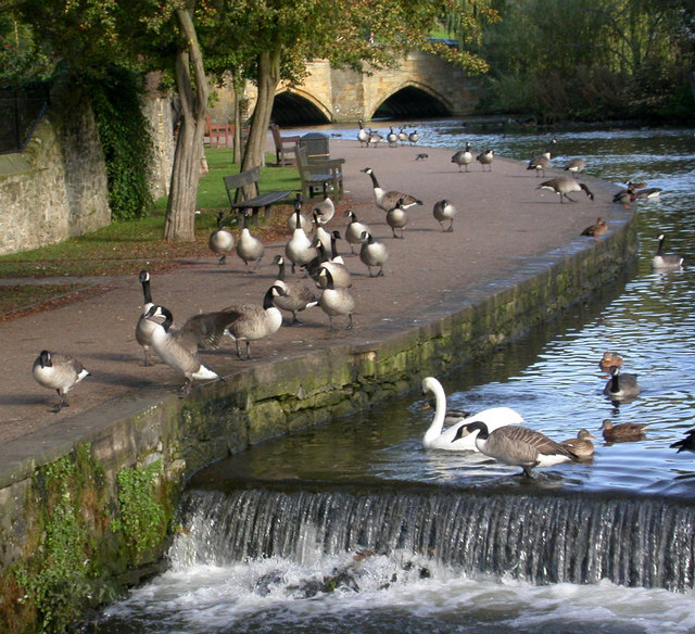 Geese on the River Wye