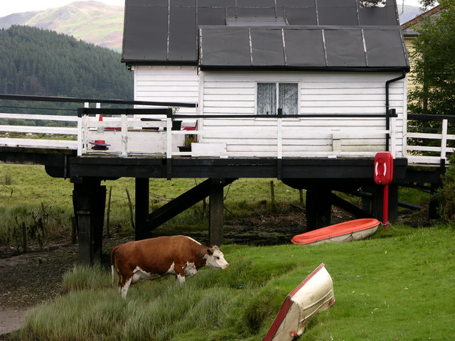 Cow under Toll Bridge. Penmaenpool