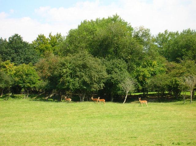 Fallow Deer, Wadhurst Park