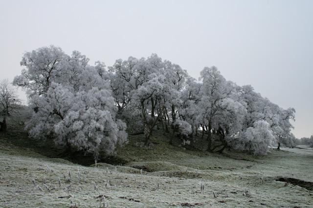 Hoar frost on Trees