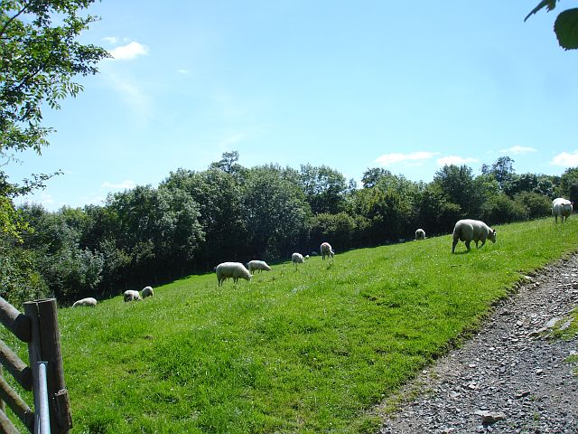Sheep on steep pasture