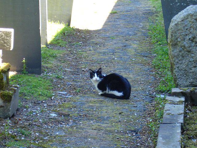 Churchyard cat, Kerry