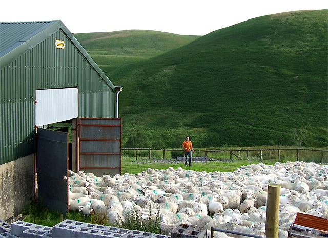 Shearing Time!! Cwm Doethie, Ceredigion