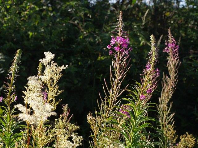 Flowers along Dreybury Lane