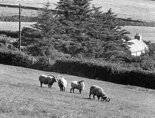 Four-horned sheep at Ballafayle (Kerruish's), Isle of Man