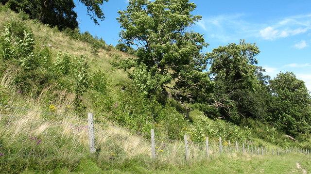 Broadleaved plantation near Helwith.