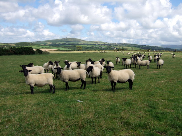 Shorn sheep and Mynydd Dinas
