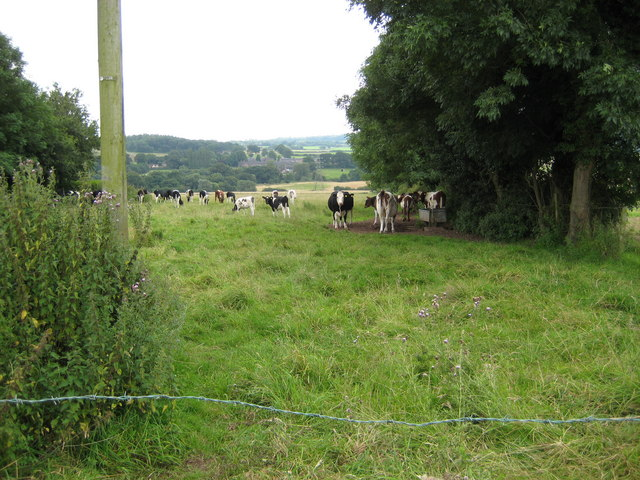 Cattle in field off Beech Lane