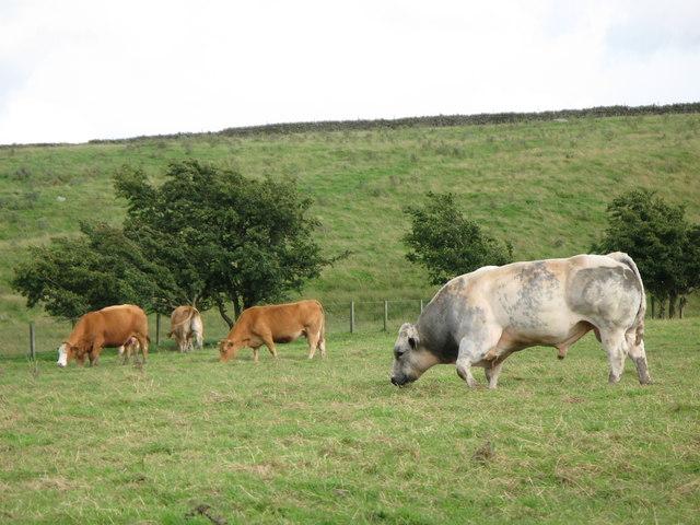 Friendly bull on public footpath near Allenshields
