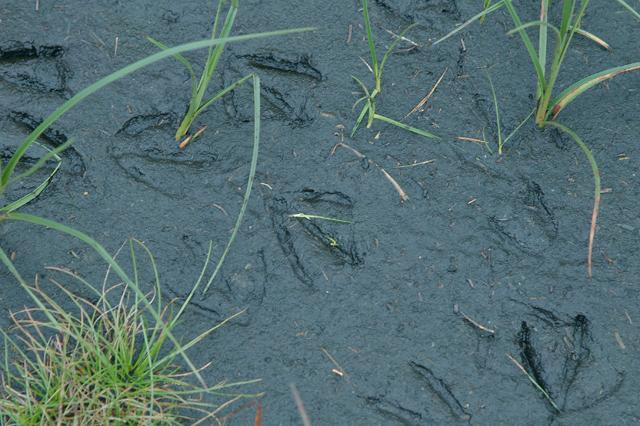 Footprints in the peat