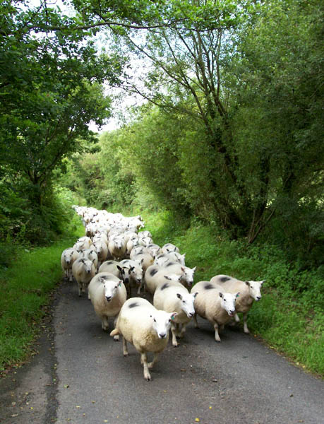 Sheep-herding