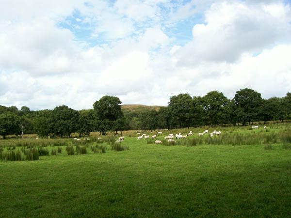 Sheep and Carn Goch