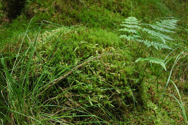Moss and ferns in Miterdale Forest