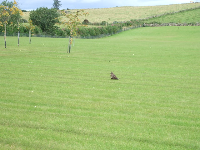 Buzzard resting on a lawn at Letter