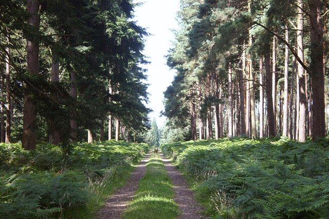 Parsonage Heath, Thetford Forest