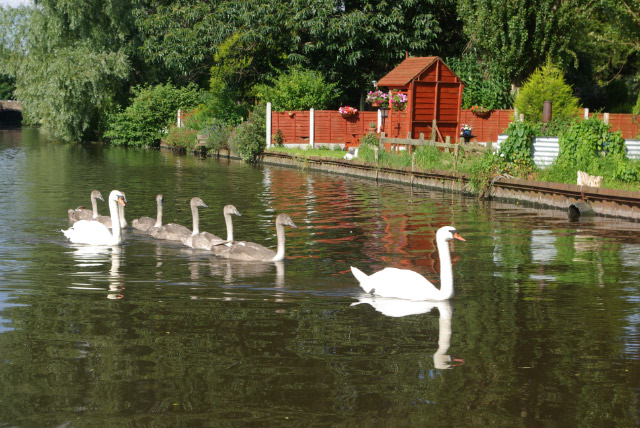Swans on Staffs & Worcs Canal