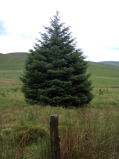Isolated spruce marking the edge of Mynydd Bychan forest