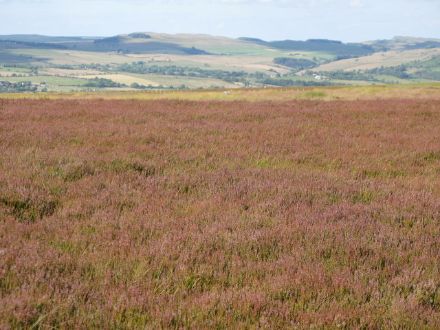 Heather on Blackcleugh Rigg