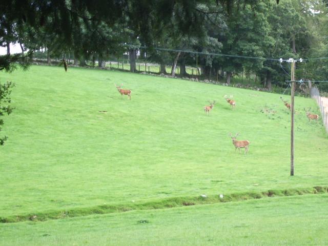 Farmed Red Deer