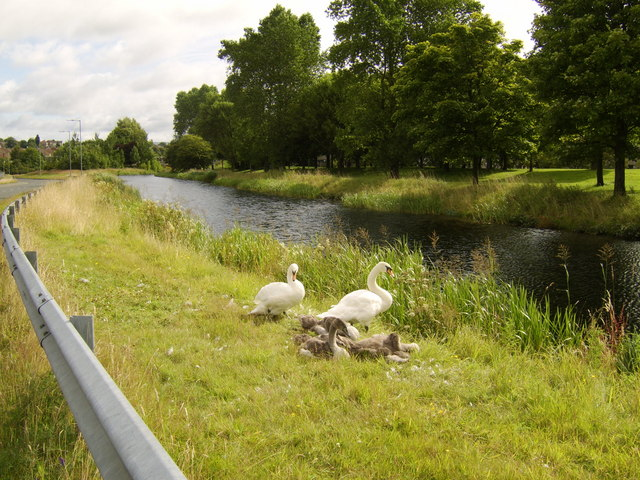 Swans and cygnets on canal bank