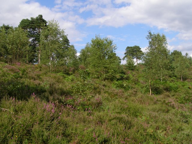 Heath and scrub on Blackwater Hill, Town Common