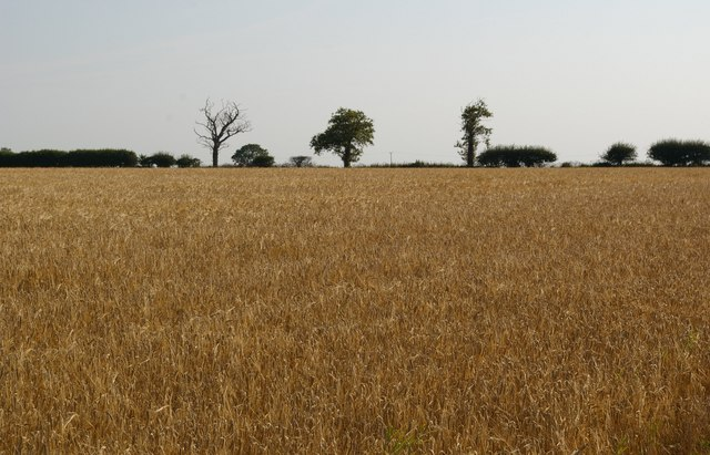 Barley field and trees