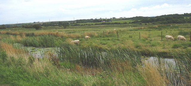Sheep grazing in Cors Tygai