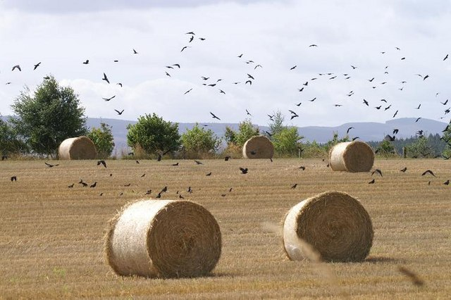 Crows and haybales at Shanzie