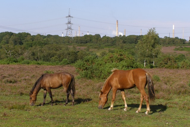 Ponies on the heath, near King's Copse Inclosure, New Forest
