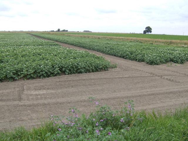 Potato crop west of Padgett's Road