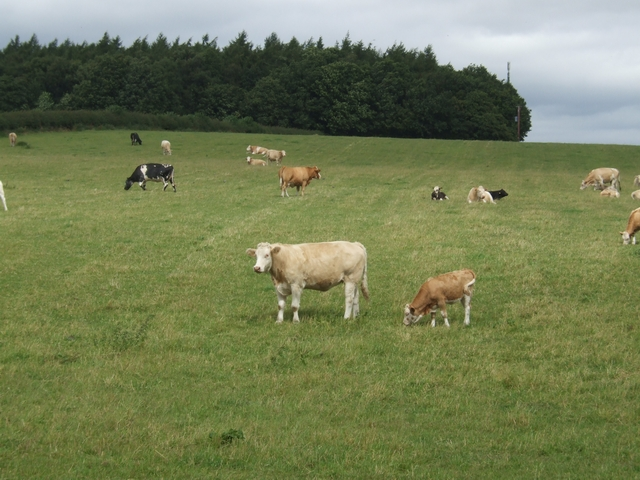 Grazing cattle in front of Ring Hill Covert