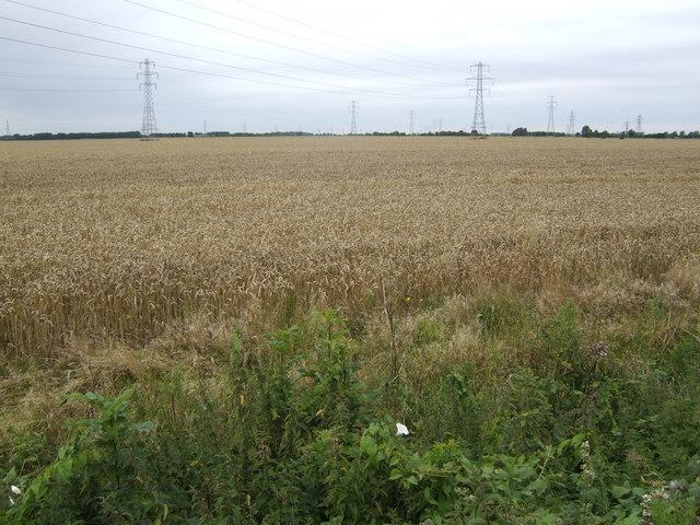 Barley ready to harvest