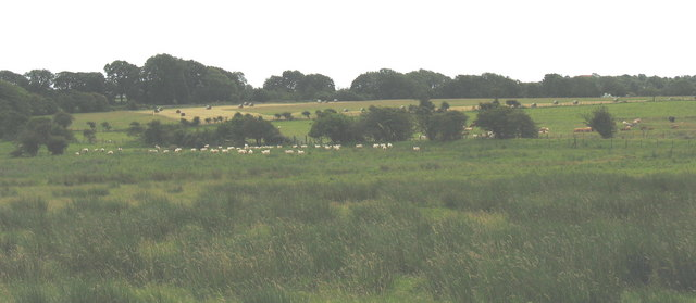 Sheep grazing on the marshland edge with haymaking taking place in the background