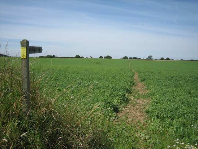 Holt - Mannington walk crossing a pea-field