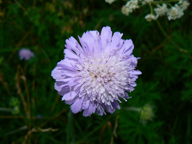 Scabious near a bridleway, south of Easton Royal