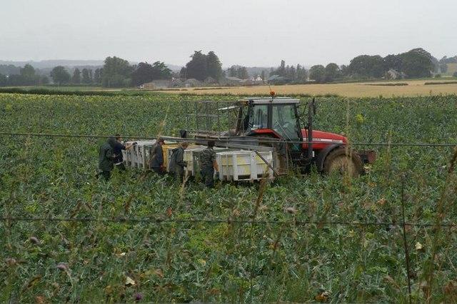 Cabbage-picking, near Ardler