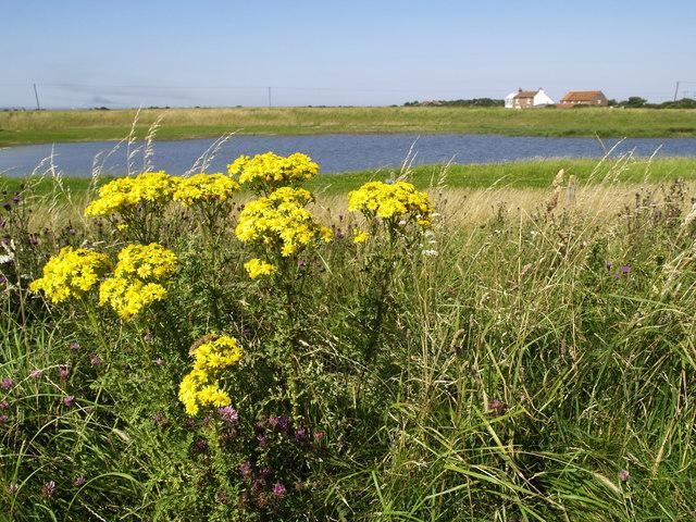 Wild Ragwort Flowers near Kilnsea