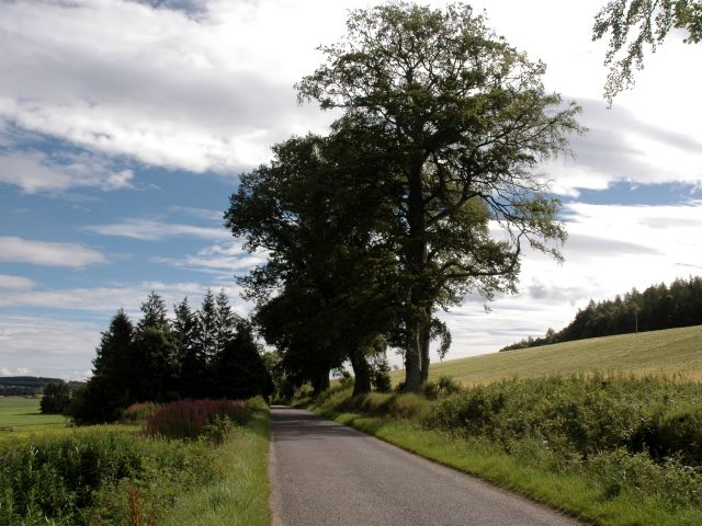 Oak Trees on Roadside