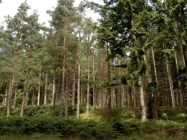 Trees in Bennachie Forest