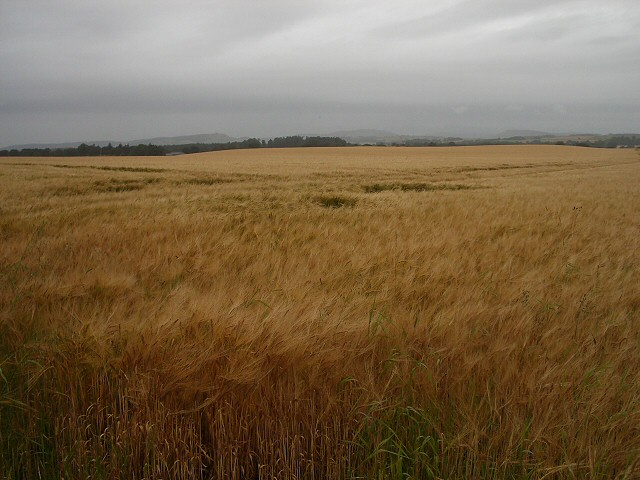 Barley in wet weather