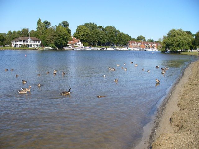 Geese on the Thames