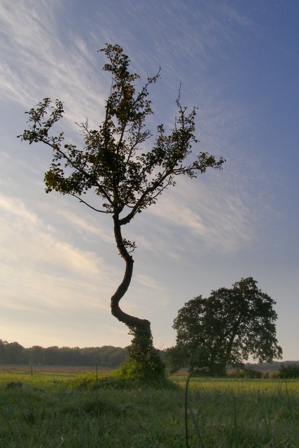 Small crab apple tree, Longwater Lawn, New Forest
