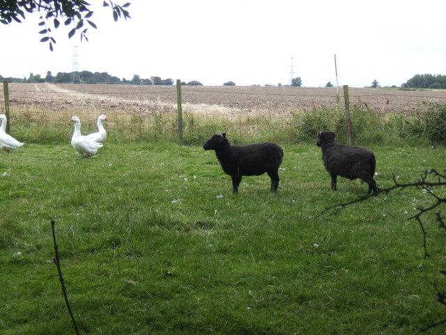 Livestock on the Eau Brink