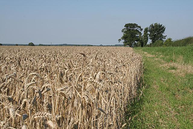 Ripening corn near Highwood Farm