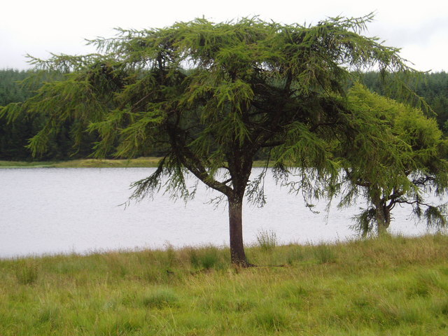Larch Trees on the shore of Knocksting Loch.