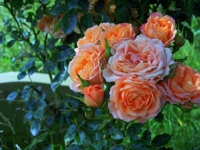 Churchyard Roses