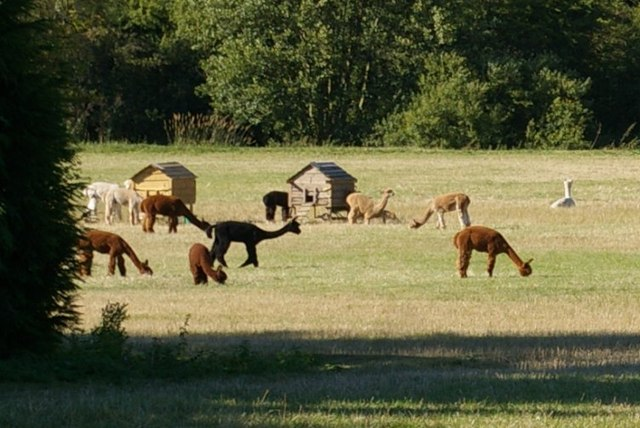 Alpacas near Long Melford