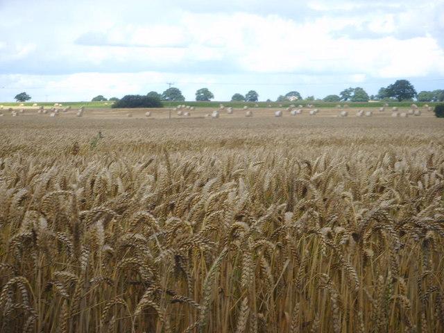 Ripe wheat and round bales