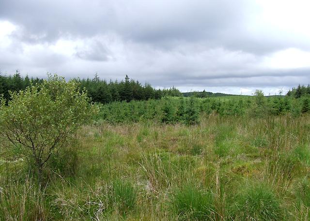 Forest near  Esgair Llethr, Ceredigion