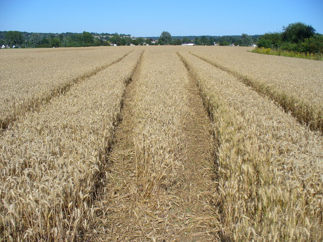 Barley Field, Cock Marsh